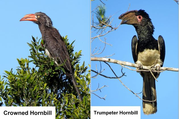 FAMILY MEMBERS: The crowned hornbill, left, and the trumpeter hornbill
